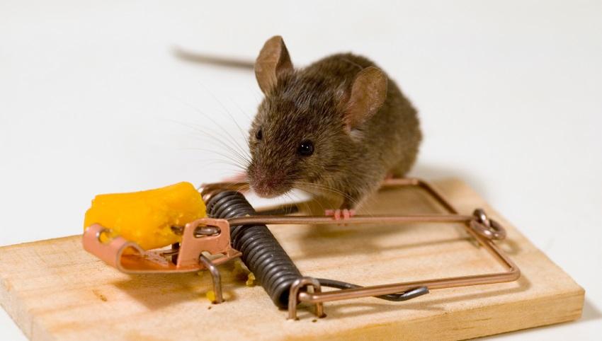 موش افتاده در تله