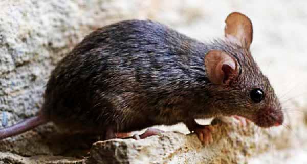 موش سیاه