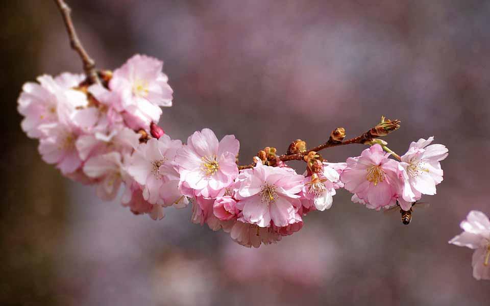 شکوفه گیلاس