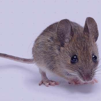 Image result for تعبیر خواب موش مرده
