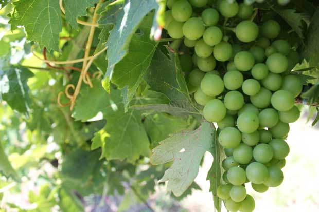 غوره unripe-grapes
